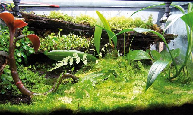 Piante di acquario acqua dolce piante acquario prato idee for Piante acquario