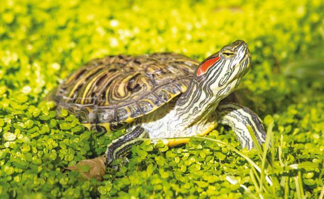 Rettili - Pagine di colorazione tartaruga ...