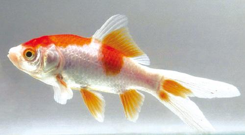 Il pesce rosso for Quanto vivono i pesci rossi