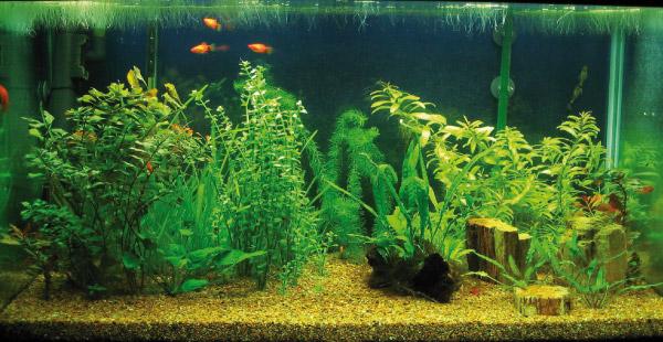 Le alghe infestanti in acquario for Alghe filamentose laghetto