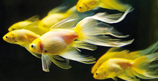 Pesci da acquario piccolo scalare del pesce dell acquario for Acquario per pesci