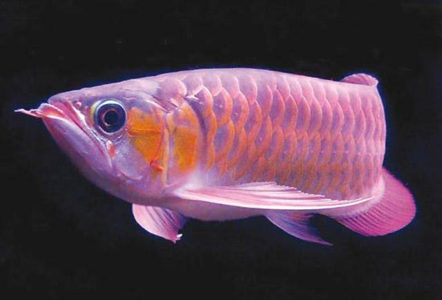 Pesce drago for Pesce pulitore acqua dolce