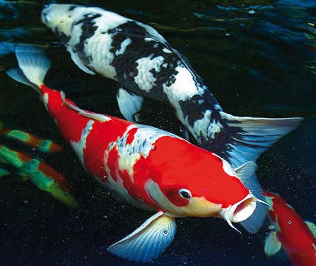 Il bello del giardino acquario for Carpe koi laghetto