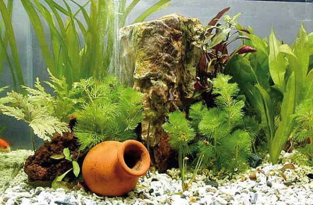Piante Alte Acquario : Acquario le piante