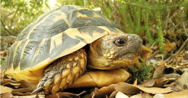 Le tartaruge mediterranee rettili for Tartaruga di terra maschio o femmina