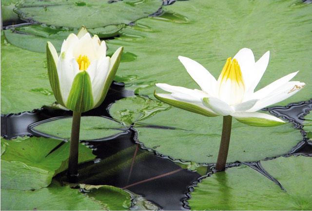 Le ninfee piante da sogno for Piante da acquario