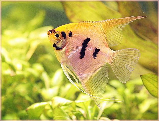 I parassiti esterni dei pesci acquario for Pesci acqua dolce commestibili