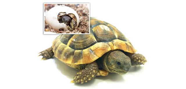 Le uova delle tartarughe terrestri for Temperatura tartarughe