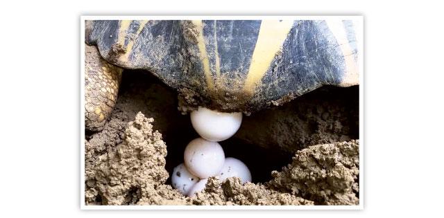 Le uova delle tartarughe terrestri for Contenitore per tartarughe