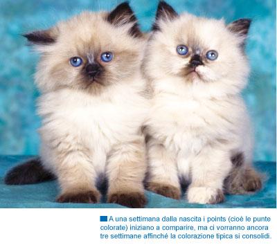 In realtà l\u0027Himalayano non è universalmente riconosciuto come razza felina.  Alcuni, infatti, sostengono che questo gatto sia semplicemente una varietà  del