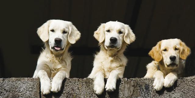 Golden retrivier cani for Cani giocherelloni