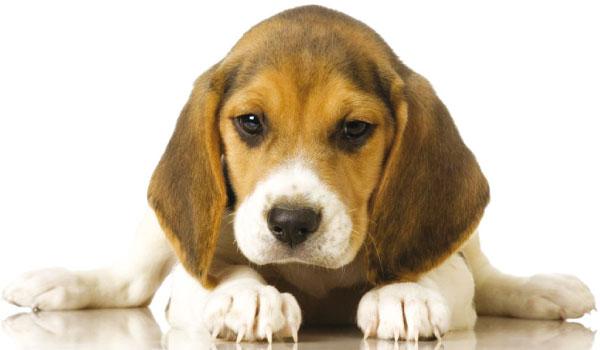 Beagle cani for Veterinario di punto di cabina