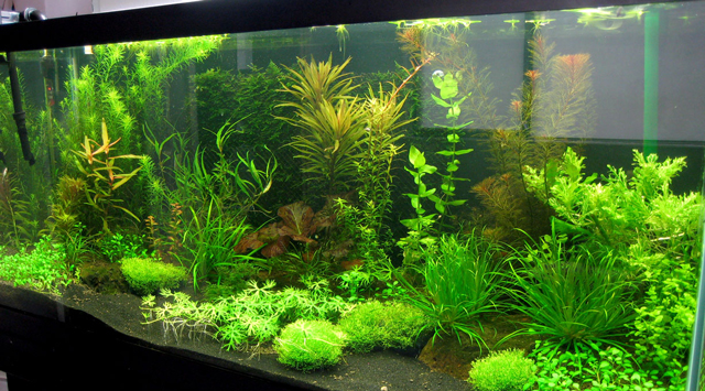 Le piante per l 39 acquario acquario for Piante da acquario