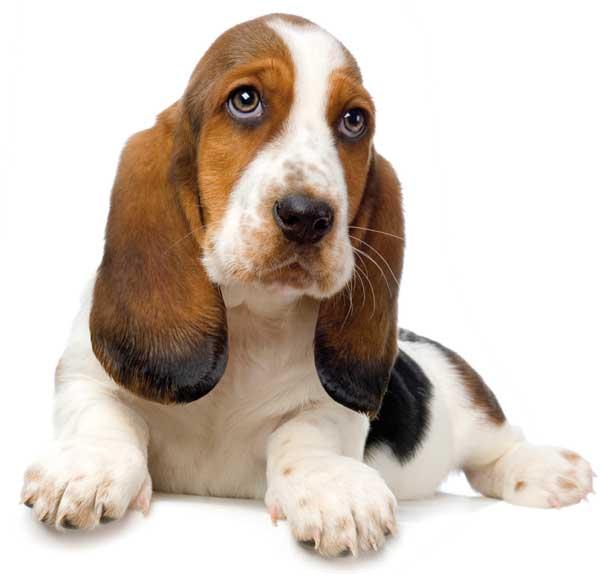 L 39 orecchio del cane cani for Veterinario di punto di cabina