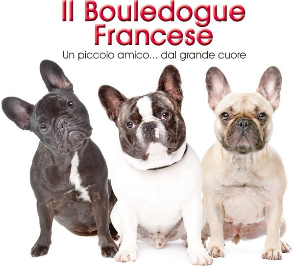 Il Bouledogue Francese