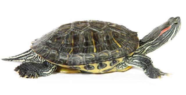 Il commercio delle tartarughine acquatiche rettili for Lago per tartarughe