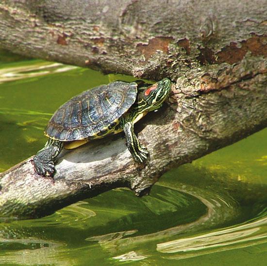 Tartarughe in natura for Tartarughe di acqua dolce