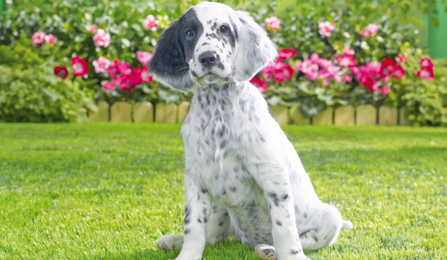 Il setter inglese cani for Cane setter