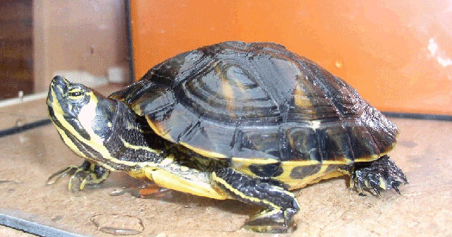 Tartarughe dalle orecchie gialle for Temperatura tartarughe