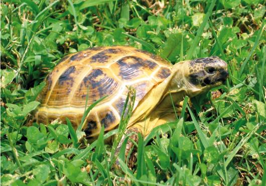 Il letargo delle tartarughe for Tartarughe di terra letargo