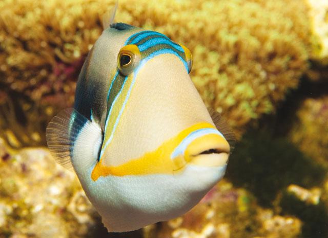 Il pesce balestra for Quanto vive un pesce rosso