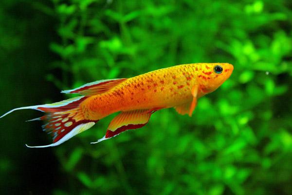 Le malattie dei pesci d 39 acqua dolce acquario for Pesci acqua dolce commestibili