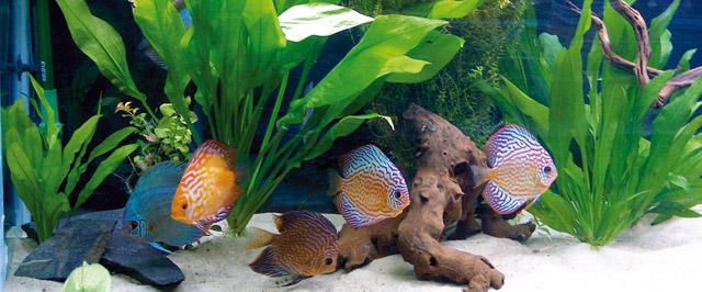 La vasca di quarantena per i discus for Filtro vasca pesci