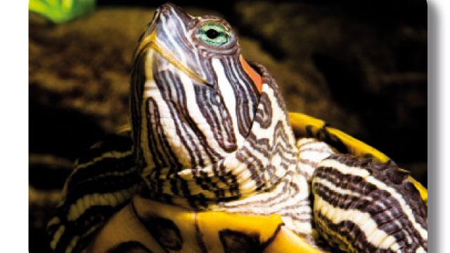 Tartarughe d 39 acqua for Alimentazione tartarughe acqua dolce