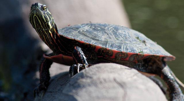 Tartarughe d 39 acqua for Termostato per tartarughe