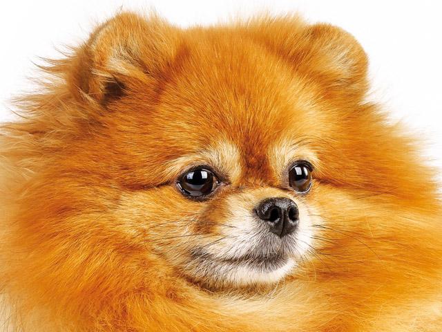 Il volpino di pomerania cani for Cani pomerania