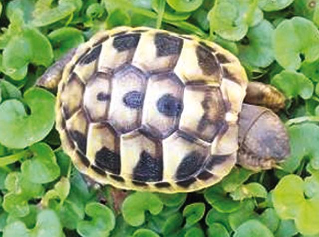La tartaruga di hermann rettili - Pagine di colorazione tartaruga ...