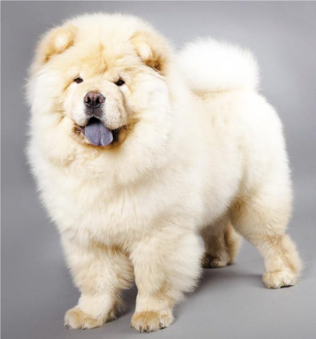 Chow Chow Cani