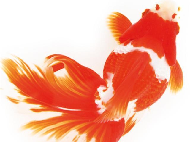 Il pesce rosso giapponese acquario for Laghetto giapponese