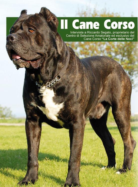 Cane Corso Cani