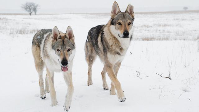 Cane Lupo Cecoslovacco Cani