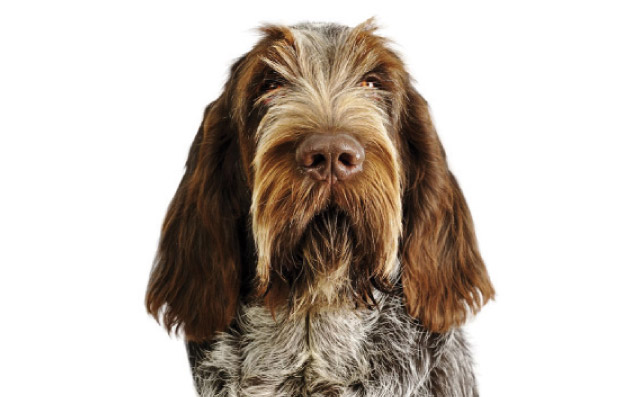 Spinone Italiano Cani