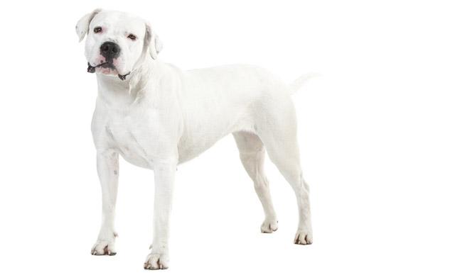 il dogo argentino cani
