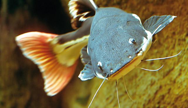 Il Pesce Gatto Coda Rossa Acquario
