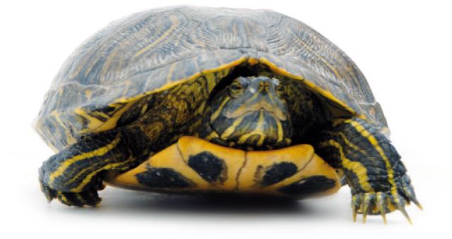 Tartarughe quali scegliere rettili for Vaschette tartarughe