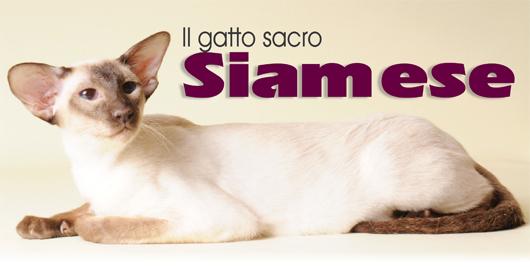 E\u0027 una delle razze feline più antiche. Questo gatto così famoso prende il  nome dalle sue origini esotiche si narra infatti che i primi Siamesi siano  stati