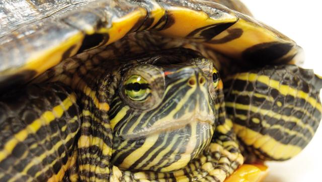 Il commercio delle tartarughine acquatiche rettili for Lago tartarughe