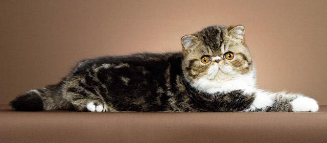 Exotic Shorthair Gatti