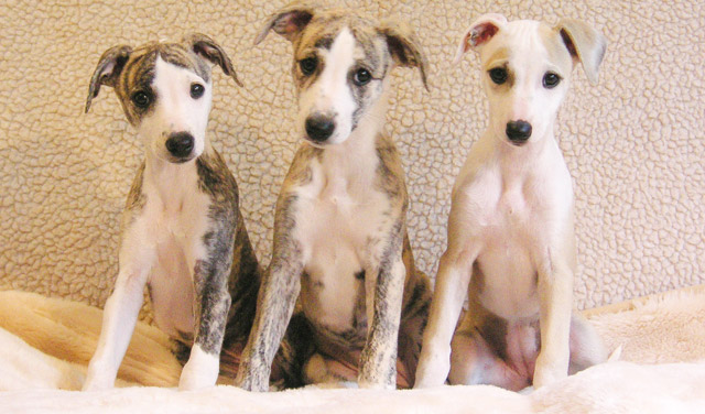 Whippet Cani